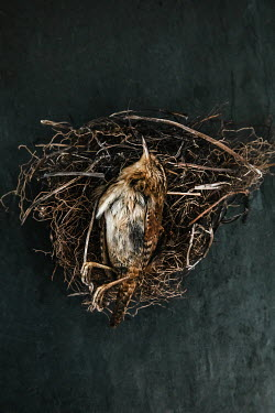 Matilda Delves SMALL DEAD BROWN BIRD IN NEST Birds