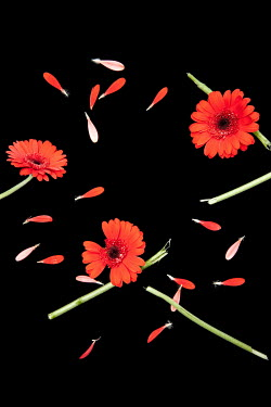 Miguel Sobreira RED FLOWERS AND PETALS WITH BROKEN STEMS Flowers