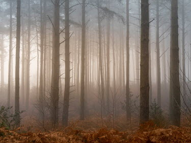 Trevor Payne FOGGY FOREST WITH BRACKEN Trees/Forest