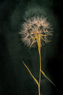 Jill Battaglia DANDELION HEAD WITH SEEDS Flowers