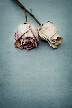 Jaime Brandel TWO DRIED PINK ROSES Flowers