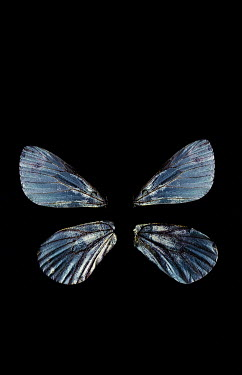 Jaime Brandel BLUE BUTTERFLY WINGS Insects