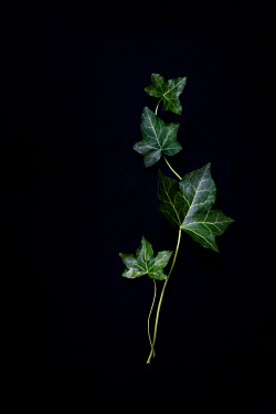 Jaime Brandel STEM WITH IVY LEAVES Flowers