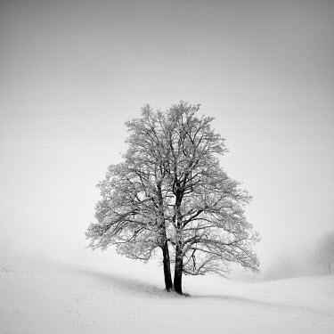 Carmen Spitznagel Tree in snow