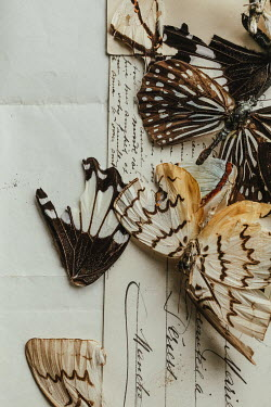 Matilda Delves Dead butterflies on postcard