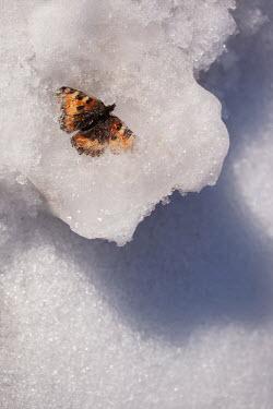 Kerstin Marinov Dead butterfly in snow