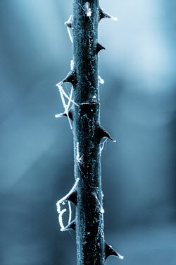 Magdalena Russocka THORNY STEM WITH FROST AND COBWEBS