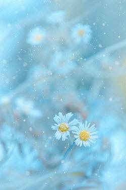 Magdalena Wasiczek Frost on daisies