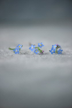 Galya Ivanova ROW OF FORGET-ME-NOT FLOWERS Flowers