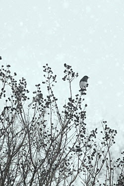 Lisa Bonowicz BIRDS SITTING IN BUSH IN SNOWY COUNTRYSIDE Birds