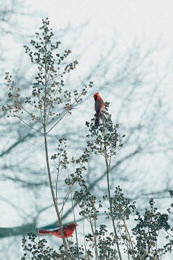 Lisa Bonowicz SMALL RED BIRDS SITTING IN BUSH IN WINTER Birds