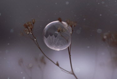 Andreeva Svoboda PLANT WITH BUBBLE OUTDOORS IN WINTER Flowers/Plants