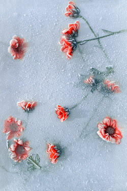Magdalena Wasiczek RED FLOWERS FROZEN IN ICE Flowers/Plants