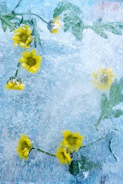 Magdalena Wasiczek YELLOW FLOWERS FROZEN IN ICE Flowers/Plants