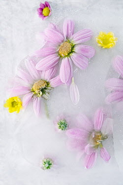 Magdalena Wasiczek PINK AND YELLOW FLOWERS FROZEN IN ICE Flowers/Plants