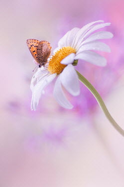 Magdalena Wasiczek Butterfly on daisy