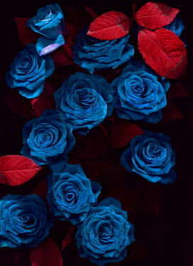 Magdalena Wasiczek Blue roses with red leaves