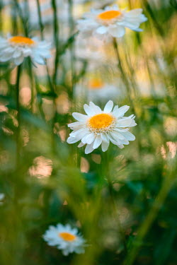Magdalena Wasiczek White daisies