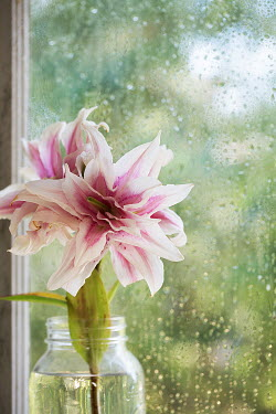 Alison Archinuk Stargazer lily flowers in mason jar on window sill