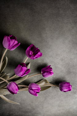 Magdalena Wasiczek BUNCH OF PURPLE TULIPS Flowers