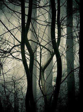 Trevor Payne WINTRY TREES IN FOGGY FOREST Trees/Forest