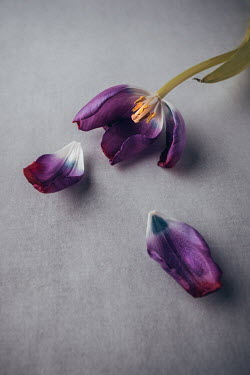Magdalena Wasiczek PURPLE TULIP WITH SCATTERED PETALS Flowers