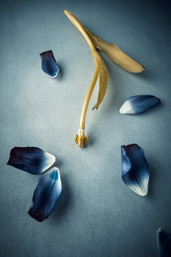 Magdalena Wasiczek BLUE TULIP WITH SCATTERED PETALS Flowers