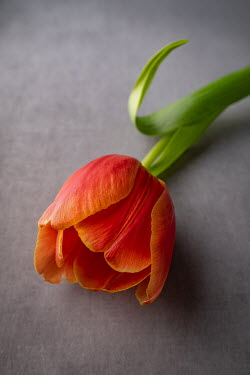 Magdalena Wasiczek CLOSE UP OF ORANGE TULIP Flowers