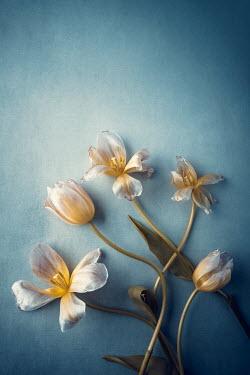 Magdalena Wasiczek WILTING WHITE AND YELLOW TULIPS Flowers