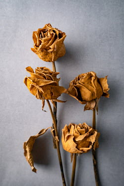 Magdalena Wasiczek DRIED YELLOW ROSES Flowers