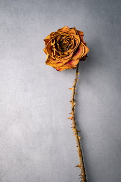 Magdalena Wasiczek DRIED YELLOW ROSE WITH THORNS Flowers