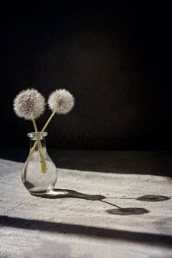 Galya Ivanova TWO DANDELION HEADS IN VASE ON TABLE Flowers