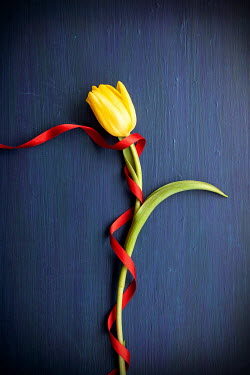 Miguel Sobreira YELLOW TULIP WRAPPED WITH RED RIBBON Flowers