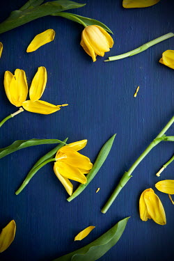 Miguel Sobreira DAMAGED YELLOW TULIPS Flowers
