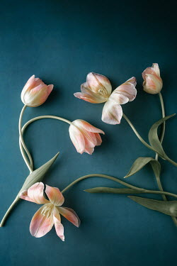 Magdalena Wasiczek WHITE AND PINK TULIPS Flowers