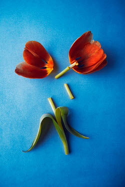 Magdalena Wasiczek PIECES OF RED TULIP ON BLUE BACKGROUND