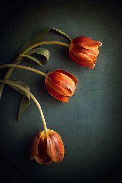 Magdalena Wasiczek THREE ORANGE TULIPS IN SHADOW Flowers