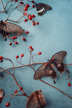 Magdalena Wasiczek SMALL RED BERRIES AND BUTTERFLIES Insects