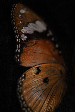 Lisa Bonowicz BROWN PATTERNED BUTTERFLY WING Insects
