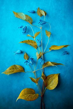 Magdalena Wasiczek BLUE FLOWERS SWITH GREEN LEAVES Flowers