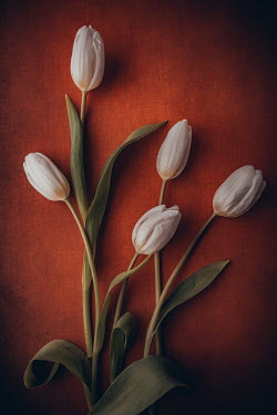 Magdalena Wasiczek WHITE TULIPS WITH SHADOW Flowers