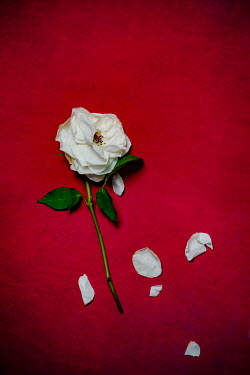 Magdalena Wasiczek WHITE ROSE WITH SCATTERED PETALS Flowers