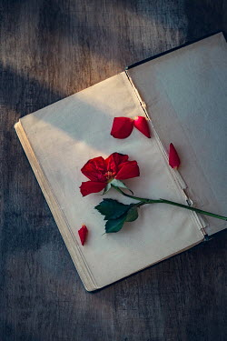 Magdalena Wasiczek RED ROSE AND PETALS LYING ON BOOK Flowers