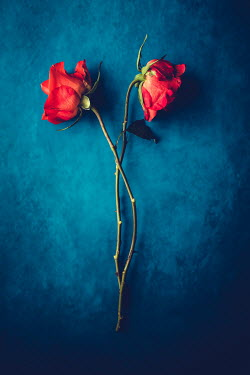 Magdalena Wasiczek TWO RED ROSES ON BLUE BACKGROUND Flowers