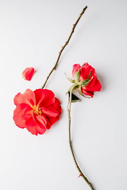 Magdalena Wasiczek TWO RED ROSES FROM ABOVE Flowers