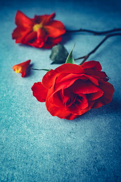 Magdalena Wasiczek TWO RED ROSES LYING ON BLUE BACKGROUND Flowers