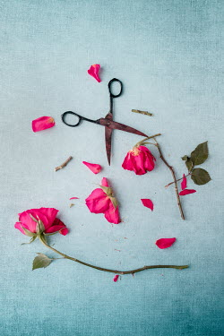 Magdalena Wasiczek DAMAGED RED ROSES WITH SCISSORS Flowers