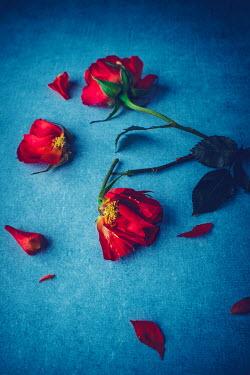 Magdalena Wasiczek DAMAGED RED ROSES LYING ON BLUE BACKGROUND Flowers