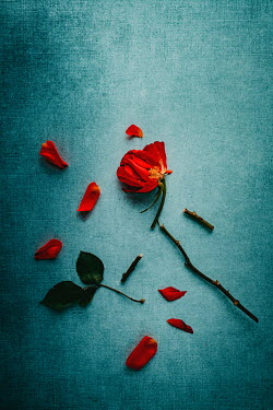 Magdalena Wasiczek RED ROSE LYING IN PIECES Flowers