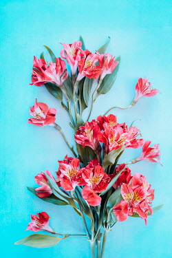 Magdalena Wasiczek PINK FLOWERS WITH TURQUOISE BACKGROUND Flowers